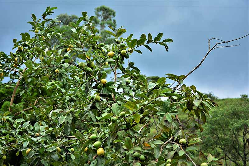 A close up horizontal image of a guava tree with ripening fruits growing in an orchard.