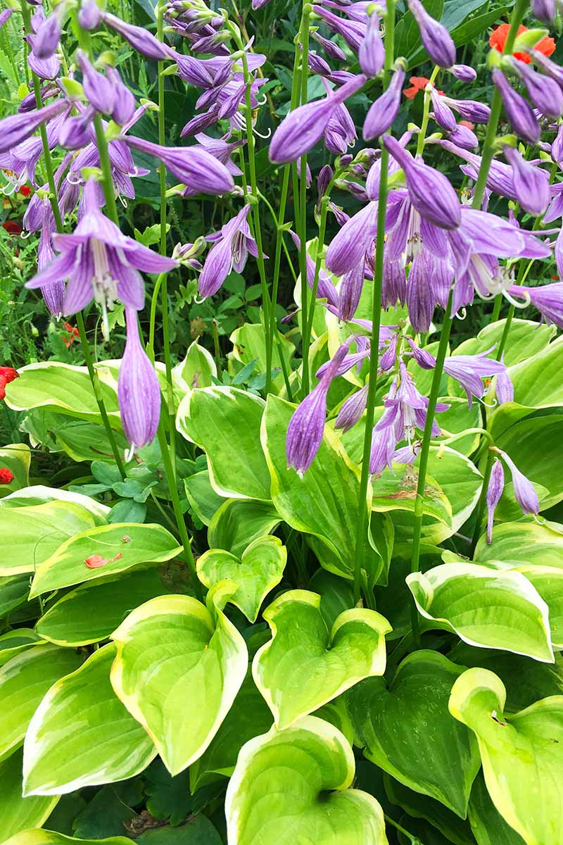 A close up vertical image of the purple flowers of a variegated hosta plant growing in the garden.