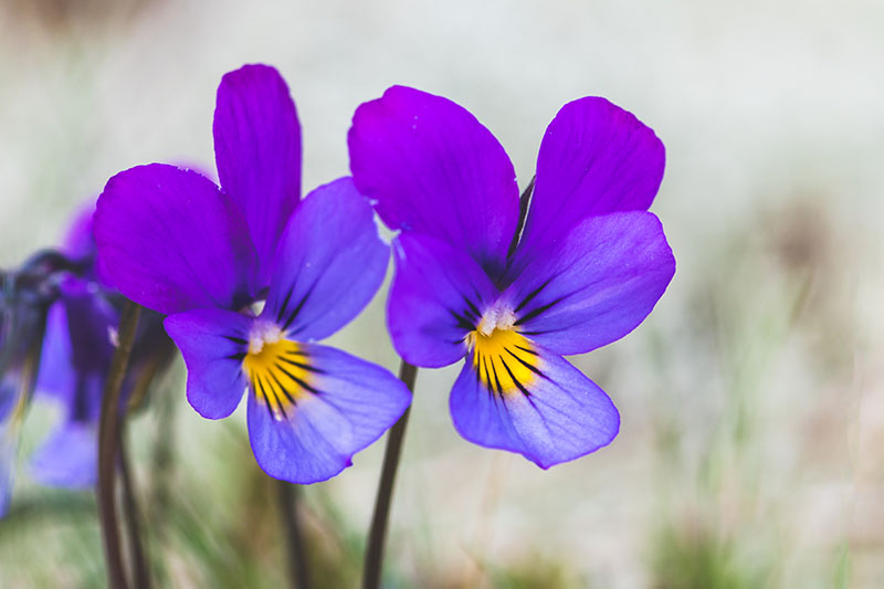 A close up horizontal image of purple Johnny-jump-up flowers on a soft focus background.