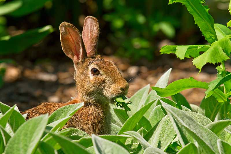 A close up horizontal image of a rabbit in a vegetable patch laying waste to leafy greens pictured in bright sunshine on a soft focus background.