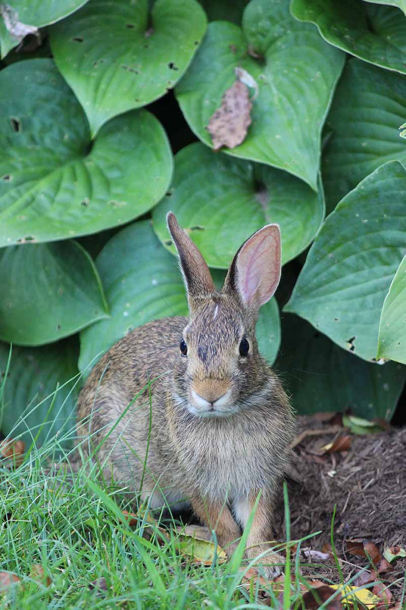 A close up of a cute bunny rabbit in front of a hosta plant.