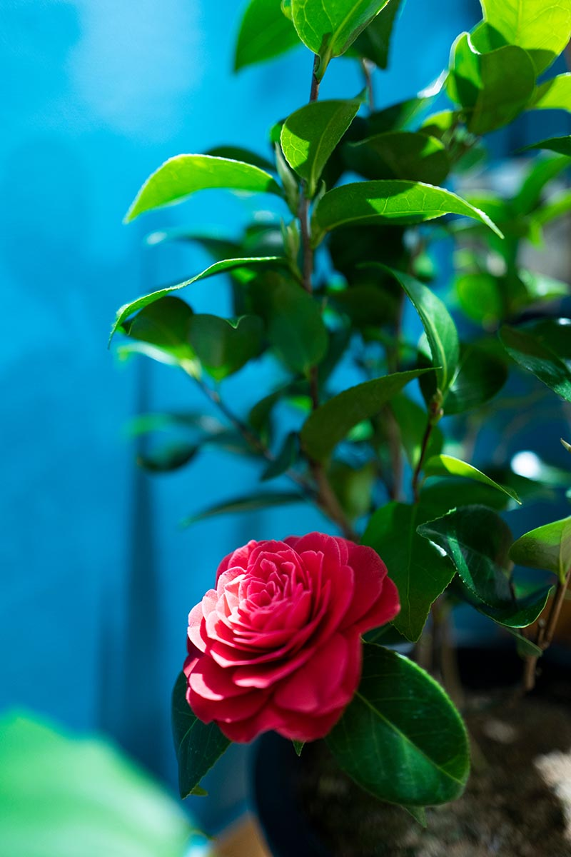 A close up vertical image of a red camellia flower growing in a container pictured on a blue soft focus background.