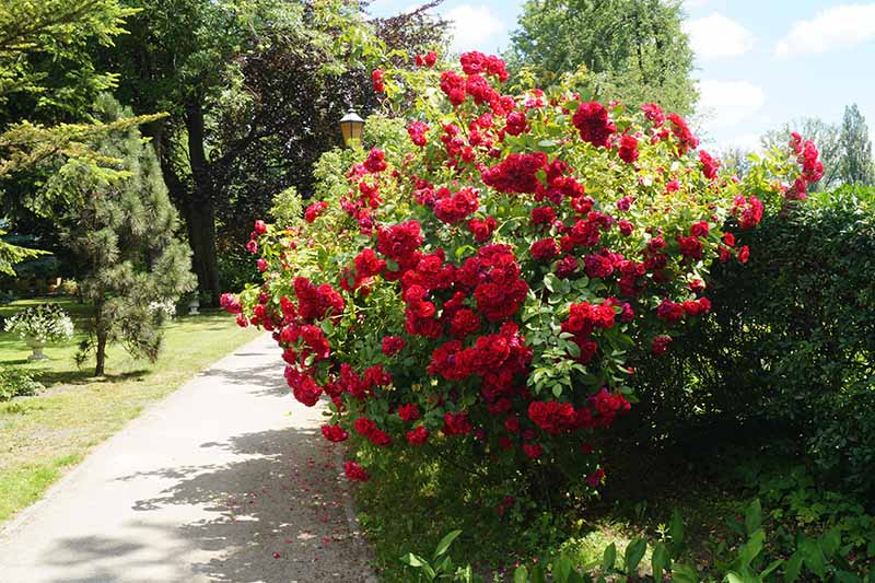 A close up horizontal image of a pathway through a park with trees to the left of the frame and a large rose shrub with red flowers to the right.