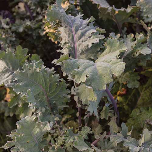 A close up square image of 'Red Ursa' kale growing in the garden.