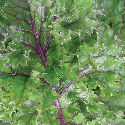 A close up square image of 'Red Winter' kale with light green leaves and purple stems.
