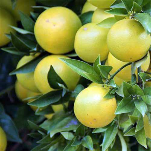 A close up square image of 'Red Rio' grapefruits growing on the tree ready to harvest.