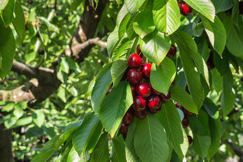 A close up horizontal image of a bunch of ripe sweet cherries growing in the garden pictured in light filtered sunshine.
