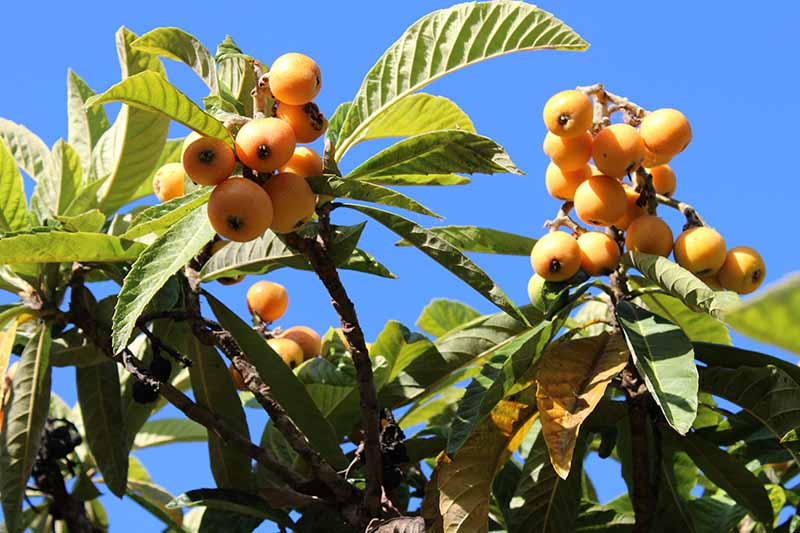 A close up horizontal image of loquats growing on the tree pictured on a blue sky background.