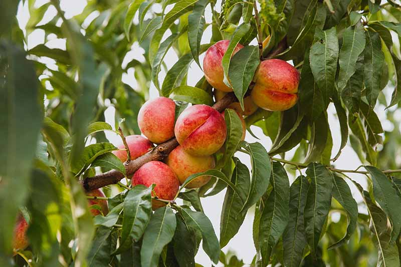 A close up horizontal image of ripe nectarines growing on the tree surrounded by foliage.