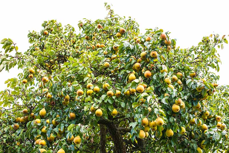 A close up horizontal image of a pear tree laden with fruit ready for harvest.