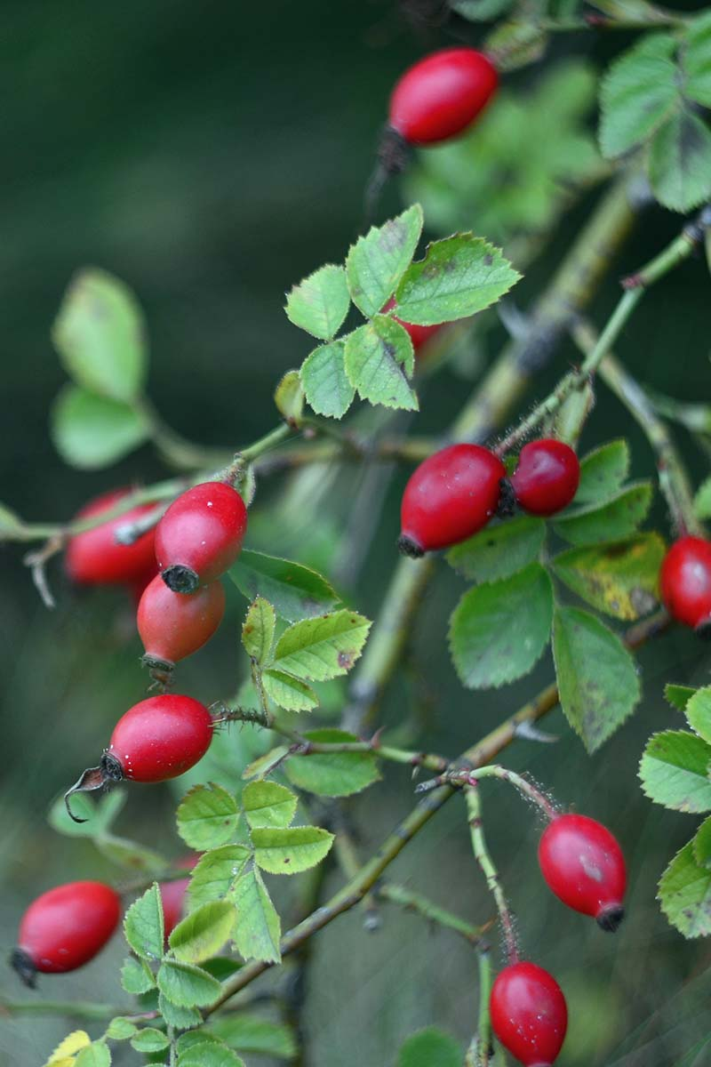 A close up vertical image of rose hips on the shrub pictured on a soft focus background.