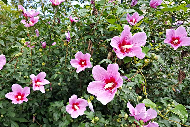 A close up horizontal image of a Hibiscus syriacus shrub growing in the garden with pink and red flowers.