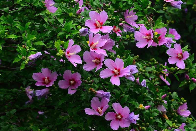 A close up horizontal image of the pink and red flowers of rose of Sharon (Hibiscus syriacus) growing in the garden.