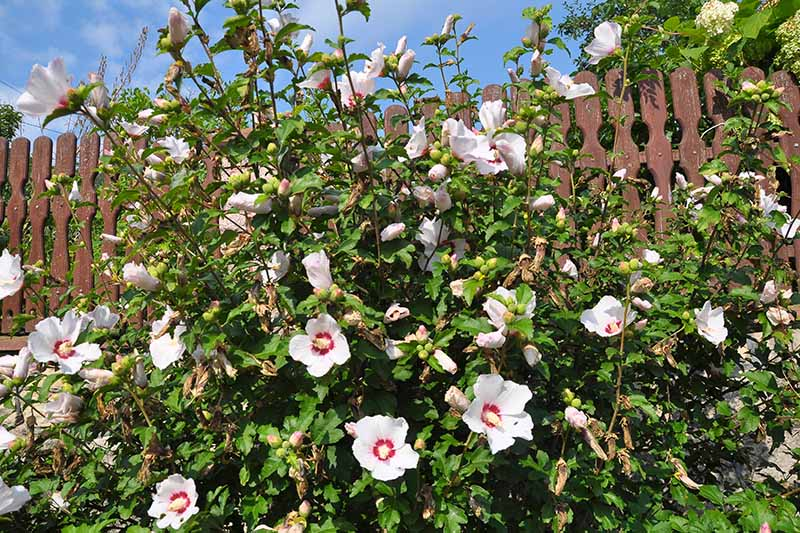 A close up horizontal image of a large rose of Sharon (Hibiscus syriacus) shrub growing in front of a brown wooden fence, with white and red flowers.