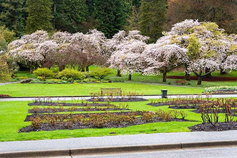 A horizontal image of a public park planted with flowering trees and rose shrubs in beds.
