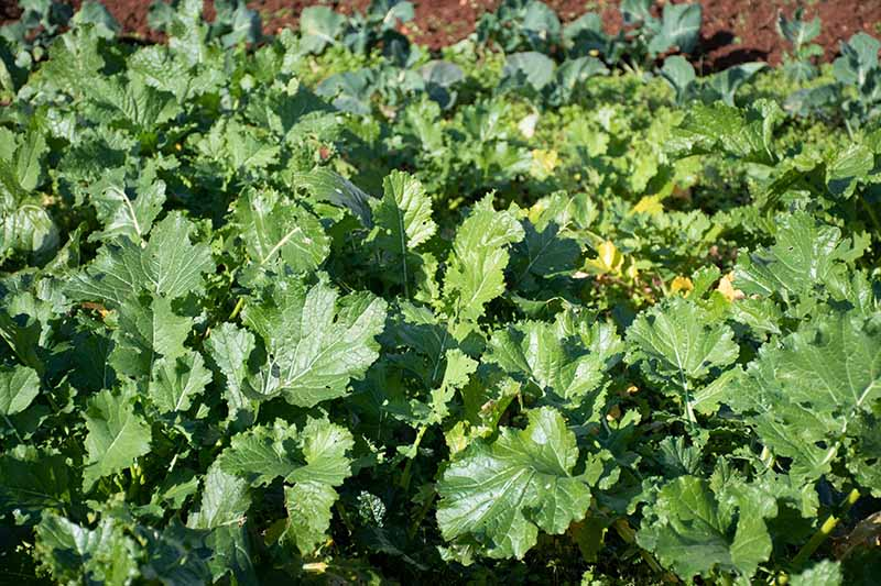 A close up horizontal image of broccoli rabe growing in rows in the vegetable garden pictured in light sunshine.