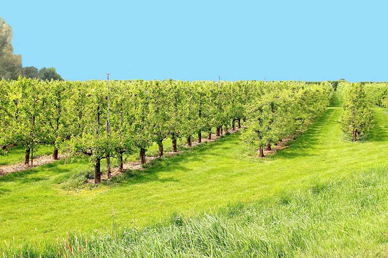 A horizontal image of a commercial fruit tree orchard on a blue sky background.
