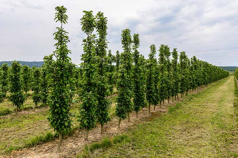 A horizontal image of rows of columnar fruit trees growing in a compact orchard.