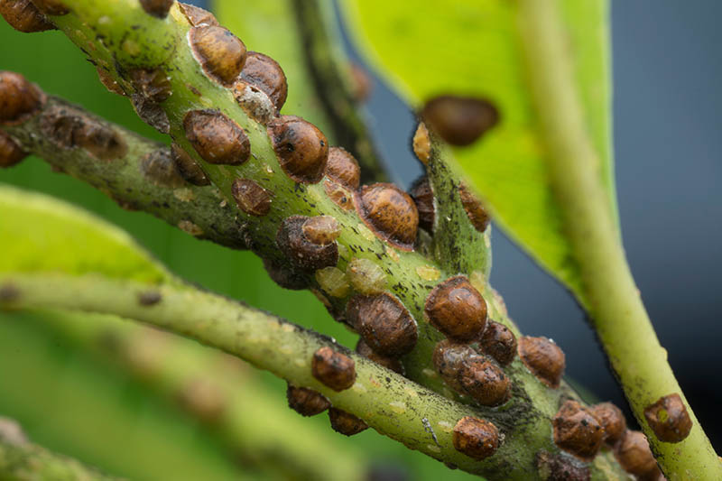 A close up horizontal image of scale insects in various stages of development infesting a branch pictured on a soft focus background.