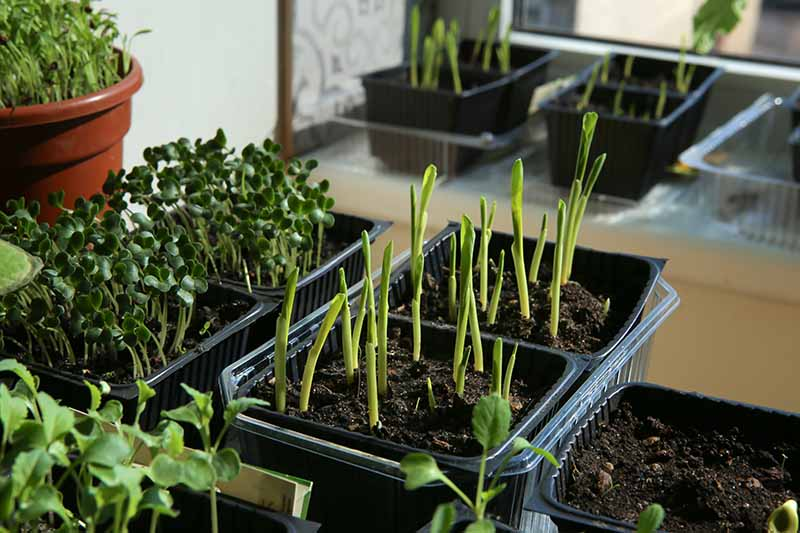 A close up horizontal image of small pots containing a variety of seedlings growing indoors.