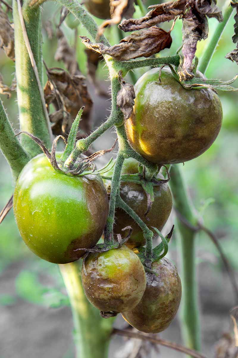 A close up vertical image of a tomato plant infected with Phytophthora infestans, a pathogen that causes late blight.