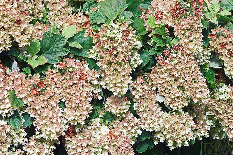 A close up horizontal image of the flowers of Hydrangea quercifolia growing in the garden.