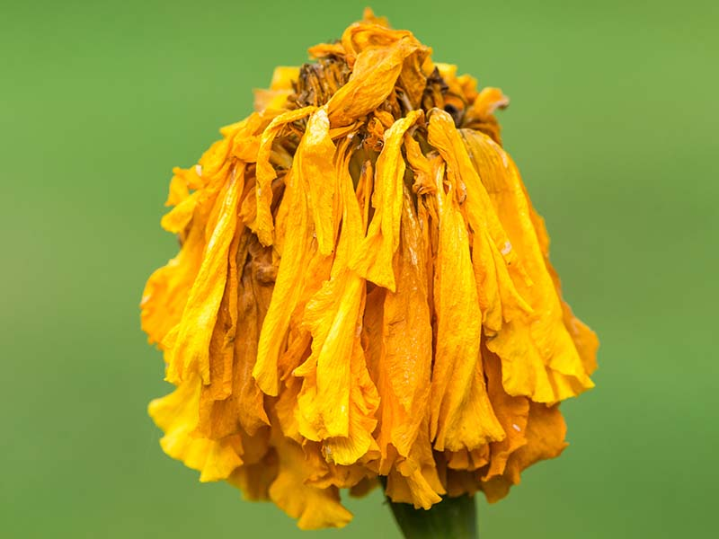A close up horizontal image of a spent blossom of a yellow marigold isolated on a green background.