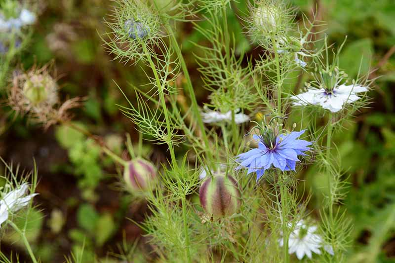 A close up horizontal image of white and blue nigella flowers growing in the garden pictured on a soft focus background.
