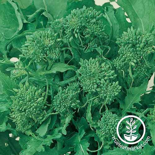 A close up square image of 'Spring' rapini growing in the garden. To the bottom right of the frame is green and white printed text.