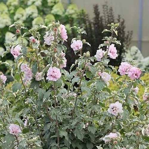 A close up square image of Hibiscus syriacus 'Sugar Tip' with pink flowers growing in the garden outside a residence.