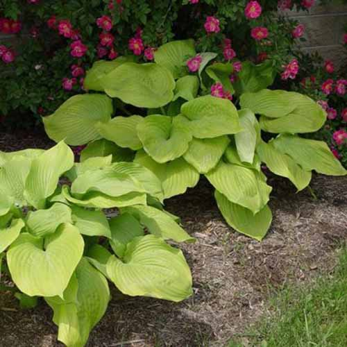 A close up square image of small 'Sum and Substance' hosta plants with light green leaves growing in a garden border with pink flowers in the background.