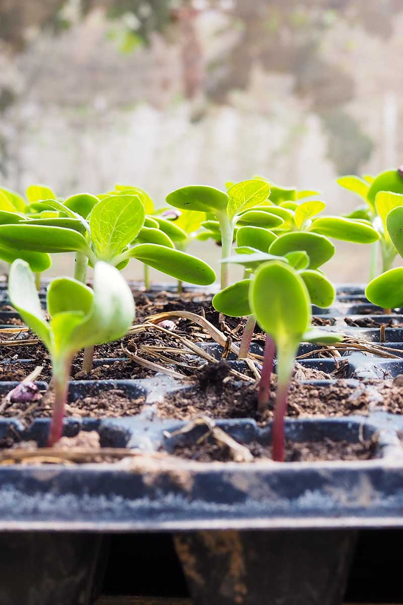 A close up vertical image of a seed tray with small seedlings growing.