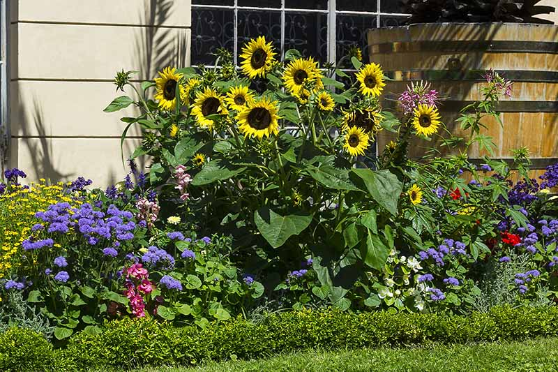 A horizontal image of a garden border outside a residence planted with a variety of different flowers.