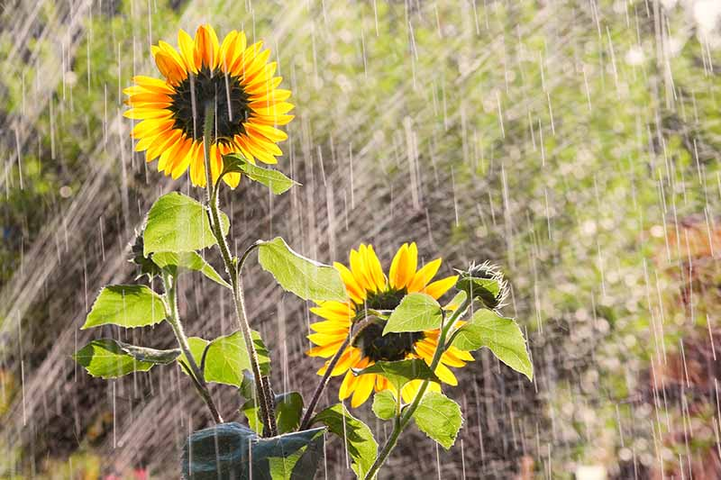 A close up horizontal image of sunflowers growing in the garden pictured during a rain shower.