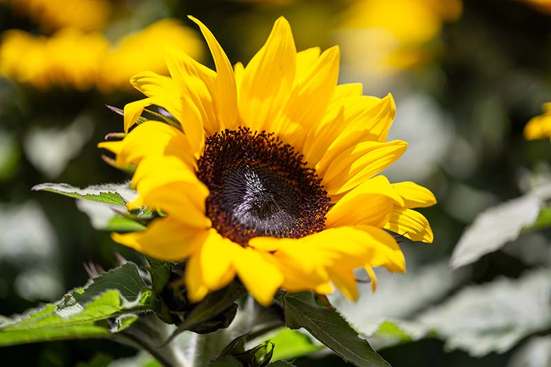 A close up horizontal image of a Helianthus annuus 'Sunspot' growing in the garden pictured in bright sunshine on a soft focus background.