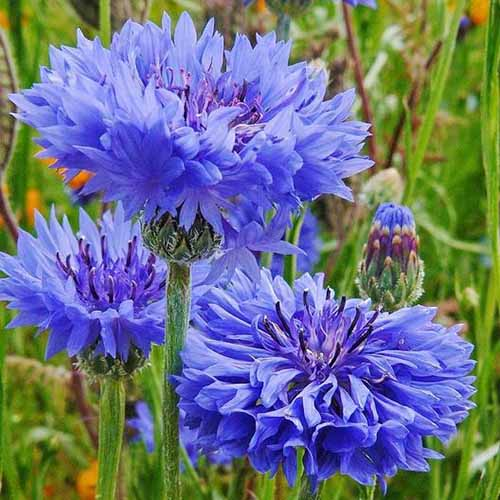 A close up square image of Centaurea cyanus 'Tall Blue' flowers growing in the garden fading to soft focus in the background.