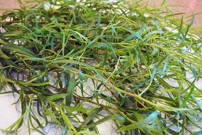 A close up horizontal image of freshly harvested tarragon leaves set on a white fabric.
