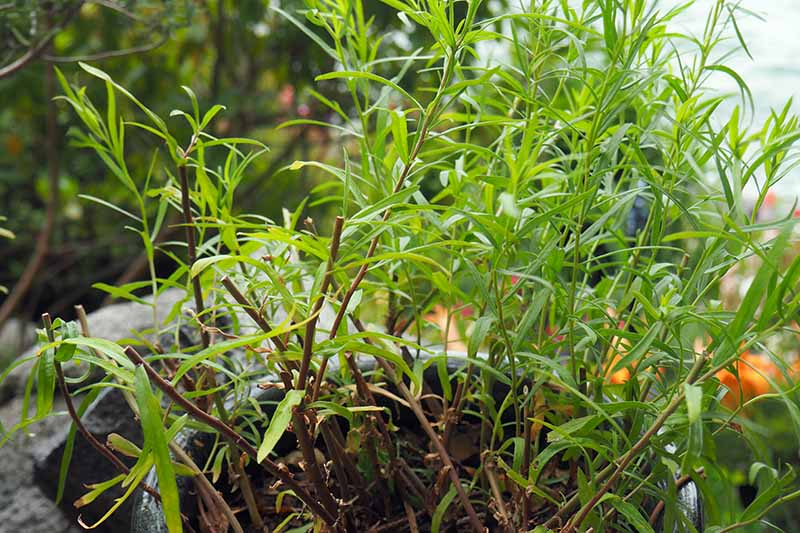 A close up horizontal image of tarragon growing in a pot that has been pruned back.