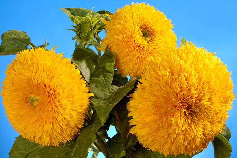 A close up horizontal image of a bunch of teddy bear sunflowers growing in the garden pictured on a blue background.