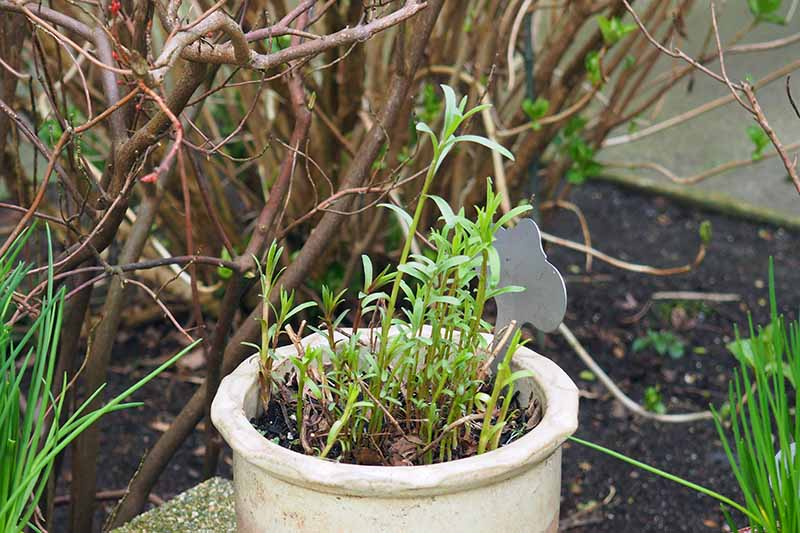 A close up horizontal image of tarragon growing in a terra cotta pot showing tender regrowth in spring.
