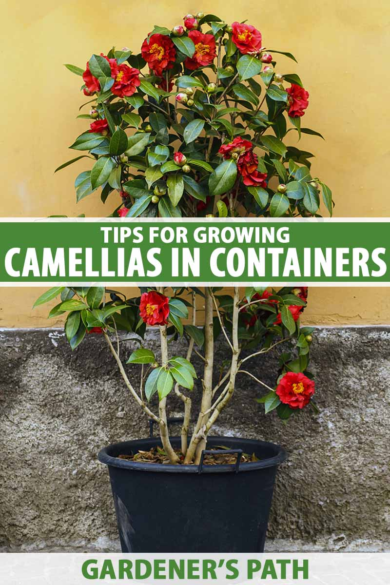 A close up vertical image of a camellia plant with bright red flowers growing in a black plastic container set outside a residence. To the center and bottom of the frame is green and white printed text.