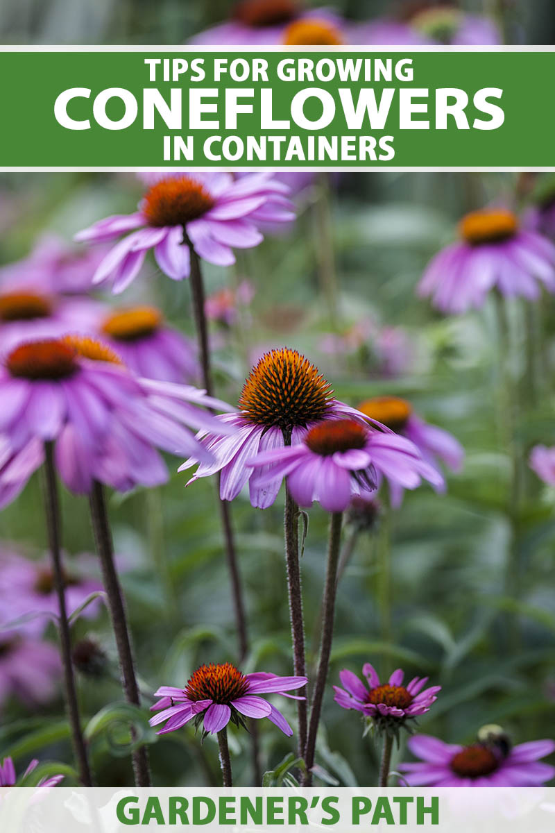A close up vertical image of purple coneflowers growing in a container outdoors pictured on a soft focus background. To the top and bottom of the frame is green and white printed text.