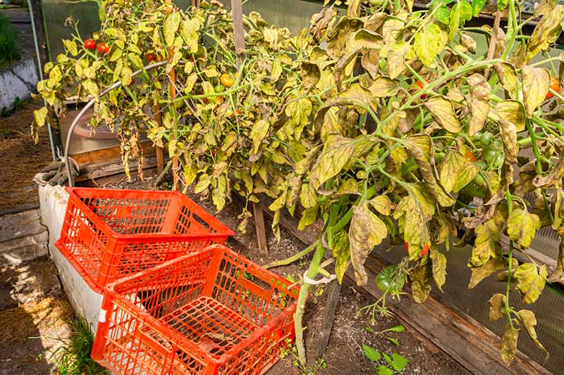 A close up horizontal image of tomato plants growing in a greenhouse that have been stricken by the nefarious pathogen Phytophthora infestans.