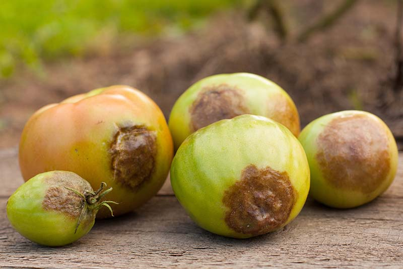 A close up horizontal image of unripe tomatoes picked from the vine suffering from a case of late blight infection (Phytophthora infestans) set on a wooden surface.