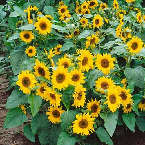 A close up square image of Helianthus annuus 'Topolino' plants growing in the summer garden.