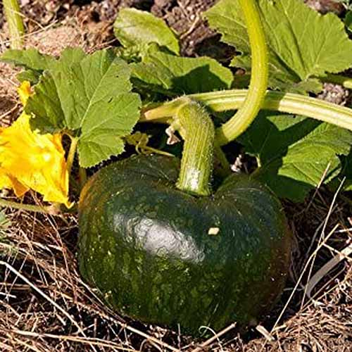 A close up square image of a green 'Uncle David's Dakota Dessert' squash growing in the garden pictured in light sunshine.