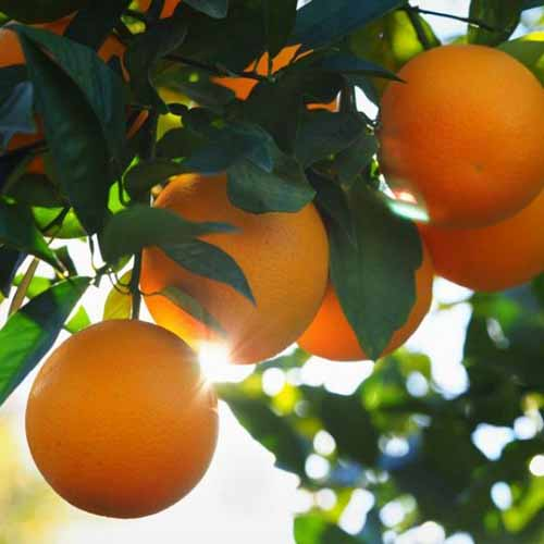 A close up square image of ripe 'Valencia' oranges growing in the garden pictured in light evening sunshine.