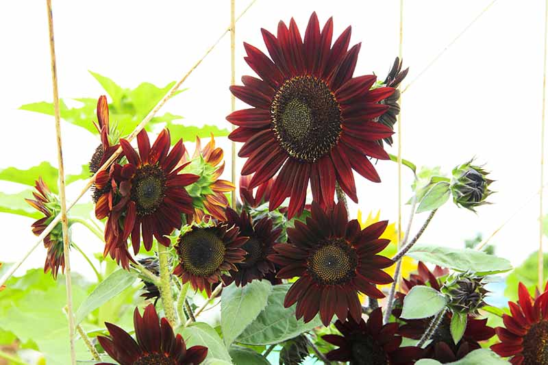 A close up horizontal image of 'Velvet Queen' sunflowers growing in the garden with bamboo supports, pictured in bright sunshine.