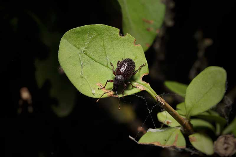 A close up horizontal image of a vine weevil on a leaf pictured on a dark background.