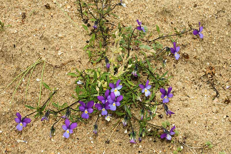 A close up horizontal image of tiny purple and yellow dune pansies growing in a sandy location.